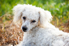 Old Poodle Dog Royalty Free Stock Photos