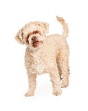 Old Poodle Mixed Breed Dog Stock Photos
