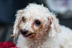 Old poodle sitting on the red table, Old dogs Stock Photos