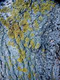 Old Poplar Bark With Lichen Stock Photo