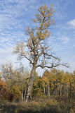Old poplar (Populus nigra) in autumn Stock Photos