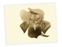 Old postcard. Vintage, retro bearded iris flower. Filtered sepia toned Royalty Free Stock Photos
