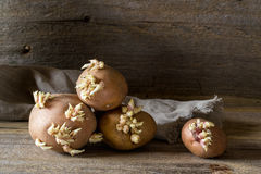 Old potato bulbs with young sprouts  ready for planting. Old potato bulbs with young sprouts on a wooden table ready for planting Stock Image