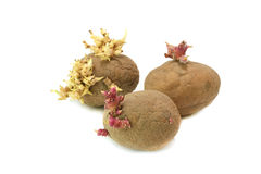 Old potatoes. With small germs Royalty Free Stock Photography