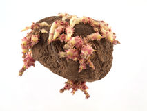 Old potatoes that have started sprouting. Close up of old potatoes that have started sprouting Royalty Free Stock Photos