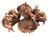 Old potatoes that have started sprouting. Stock Photos