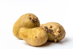 Old potatoes Royalty Free Stock Photo
