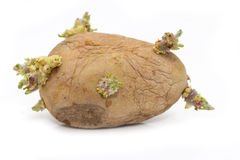 Old potatoes Stock Images