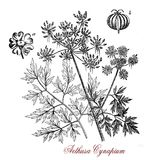 Old print of Aethusa cynapium poisonous plant. Vintage print of Aethusa cynapium or poison parsley, common poisonous herb with white inflorescences and an Stock Images