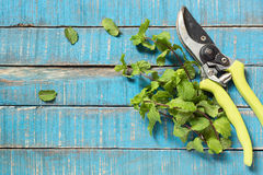 Old pruner with mint Royalty Free Stock Images