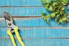 Old pruner with sprig of mint Royalty Free Stock Image