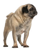 Old pug, 6 years old, standing Stock Photography
