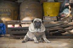 Old pug on a coconut farm. Stock Photo