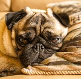 Old Pug dog lazily staring into the camera. A senior pug dog snoozing on a pillow next to a window. Side lit with natural light giving a sense of peace and Stock Photography