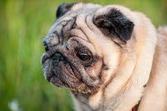 Old pug dog muzzle close-up Stock Photos