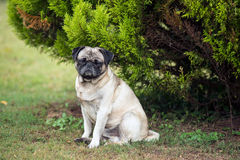 Old pug dog Royalty Free Stock Photos