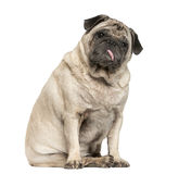 Old Pug sitting Royalty Free Stock Photos