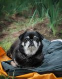 Old pug on a summer`s day outdoors stock photos