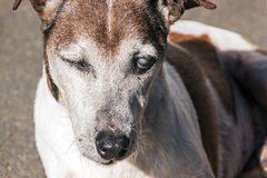Old Purebred Jack Russell with Cataracts in Eyes Stock Photos