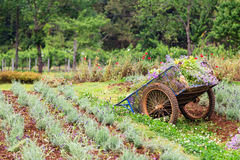 An old pushcart in the flowers field Royalty Free Stock Photography
