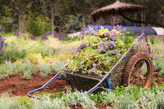 An old pushcart in the flowers field Royalty Free Stock Photos