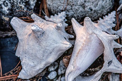 Old Queen Conch Seashells. A pair of old weathered and worn seashells on display in a rock garden Stock Image