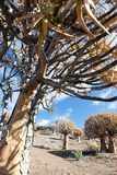 Old quiver tree in South Africa - vertical format Royalty Free Stock Image