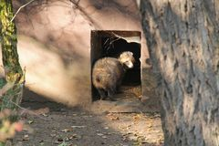 Old raccoon dog royalty free stock image