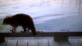 Old raccoon walking by the water stock video