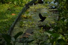 Old raft with vegetation and a black bird in the amazon river stock image