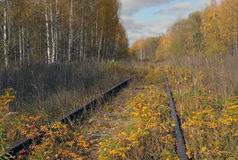 The old railway. Old railroad goes through the autumn woods, between the rails grow rosehip bush with ripe berries Stock Image