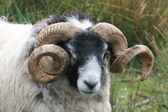 Old Ram. With large curly horns Stock Images