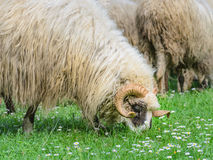 Old ram with flock of sheep grazing Stock Images