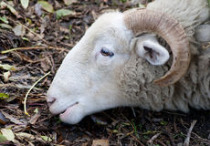 Old ram grazing Royalty Free Stock Image