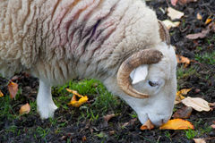 Old ram grazing Stock Image