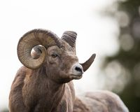 Free Old Ram Portrait Stock Images - 111142544