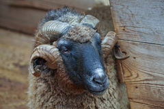 Old RAM. With twirled horns near the shed Stock Photos
