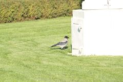 Old raven on a green lawn in a summer park near a white wall stock photography
