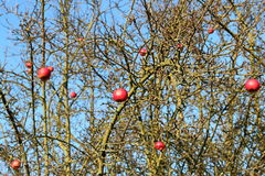 Old red apples on dry apple tree in mild winter Royalty Free Stock Photography