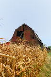 Old red barn with corn stalks Royalty Free Stock Images