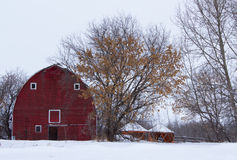 Old red barn. Beside a tall tree with brown leaves in the winter Royalty Free Stock Photos