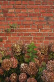 Old red brick wall with autumn flowers. Old barn wall of bricks as background and late autumn flowers in foreground. Village of Szteklin, Northern Poland Royalty Free Stock Photography