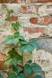 Old red brick wall covered with green leaves of wild grape. Brick wall texture with ivy. Natural background stock photography