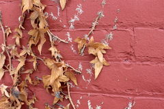 Old red brick wall with dead leaves Royalty Free Stock Images