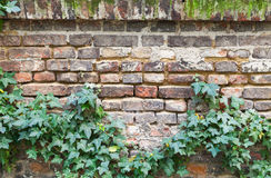 Old red brick wall with green plant Royalty Free Stock Photos