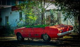 Old red car with plants growing out of it. Old red car with roof cut off and plants growing in it royalty free stock photo
