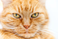 Old red cat Royalty Free Stock Images