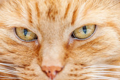 Old red cat Royalty Free Stock Photo