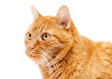 Old red cat. Close up portrait of an old red wise cat isolated on white royalty free stock photography