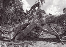 Old Red Cedar in Black and White Royalty Free Stock Photo